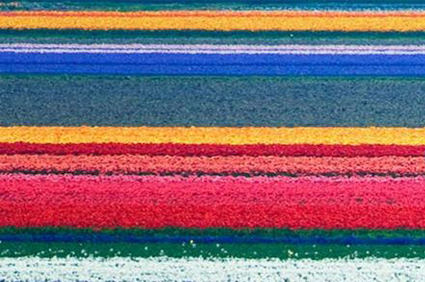 Tulip Flower Fields in Netherlands