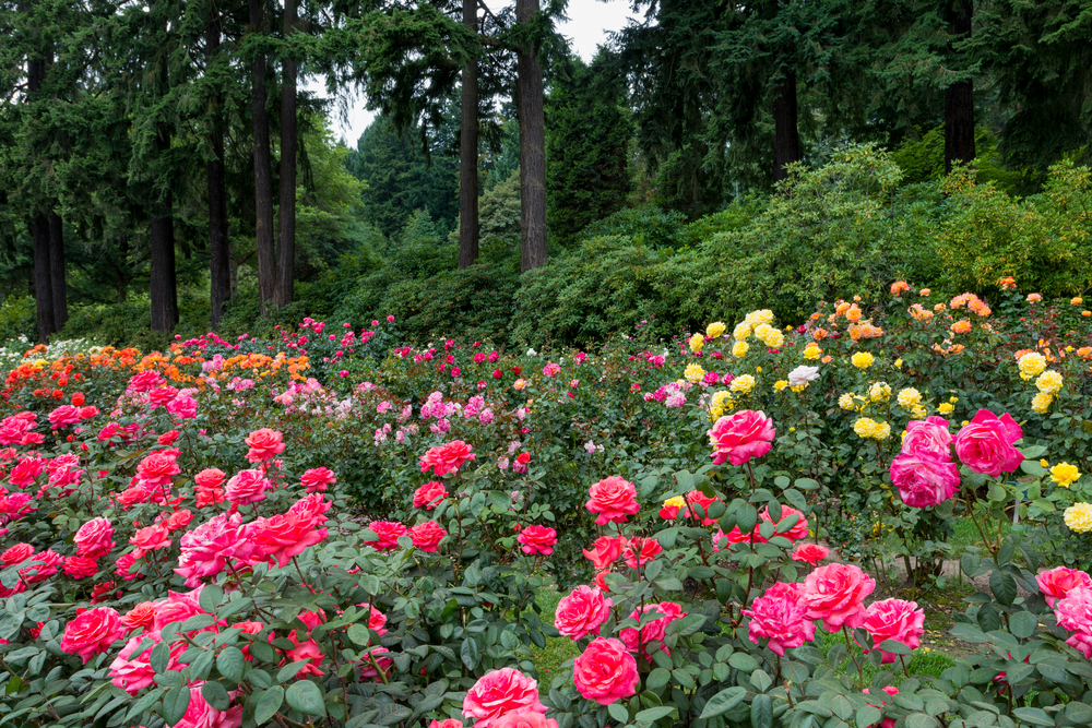 Smartfares blog travel blog air travel news holiday ideas travel tips for Portland international rose test garden